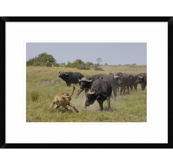 Global Gallery African Lion Evading Retaliation By Cape Buffalo Herd Framed Photographic Print Wayfair