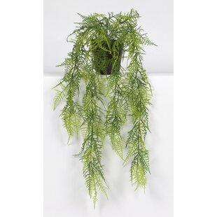 79cm Asparagus Succulent In Pot By The Seasonal Aisle
