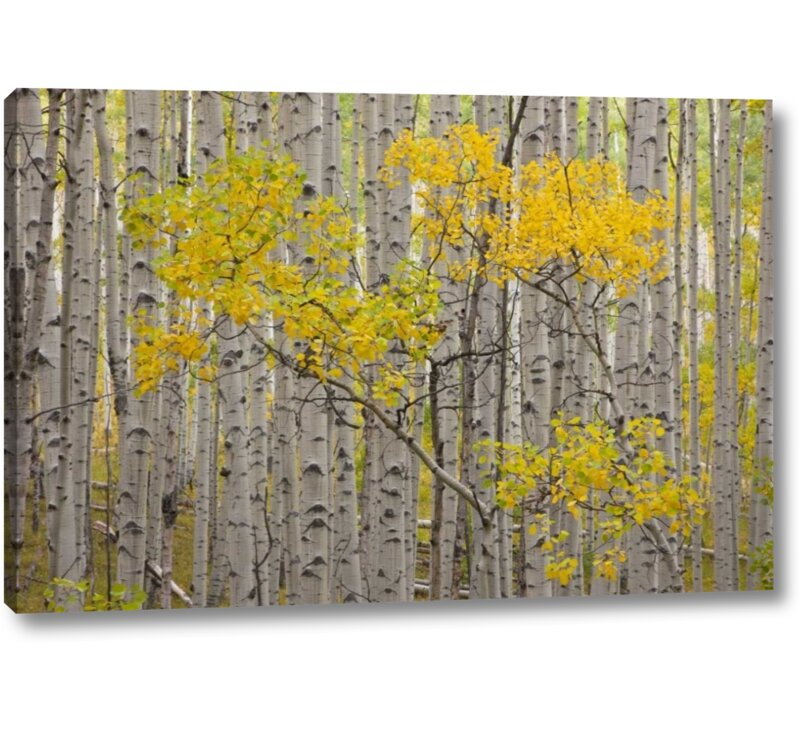 Millwood Pines Co White River Nf A Stand Of Aspens Photographic Print On Wrapped Canvas Wayfair