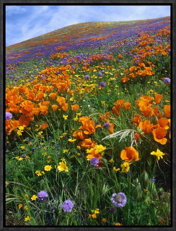 East Urban Home California Poppy And Other Wildflowers Growing On Hillside Framed Photographic Print On Canvas Wayfair