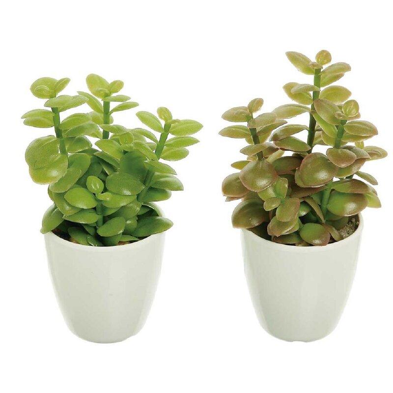 Bungalow Rose 2 Piece Jade Plant Cactus Succulent In Pot Set Wayfair