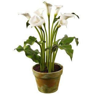 stylist lily house plant. Calla Lily Floral Arrangement in Pot  Wayfair