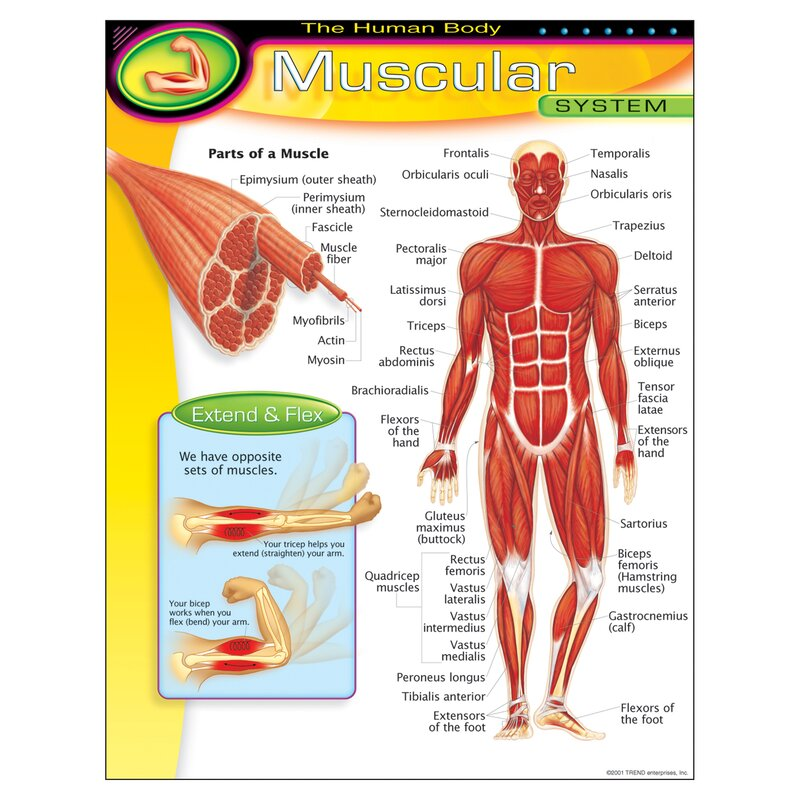 Trend Enterprises Muscular System Chart Wayfair