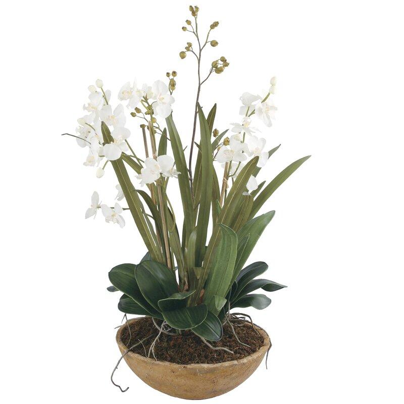 Moth Orchid Desk Top Plant in Pot