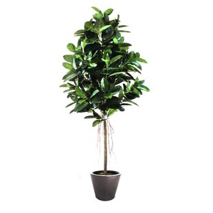 Rubber Tree In Planter