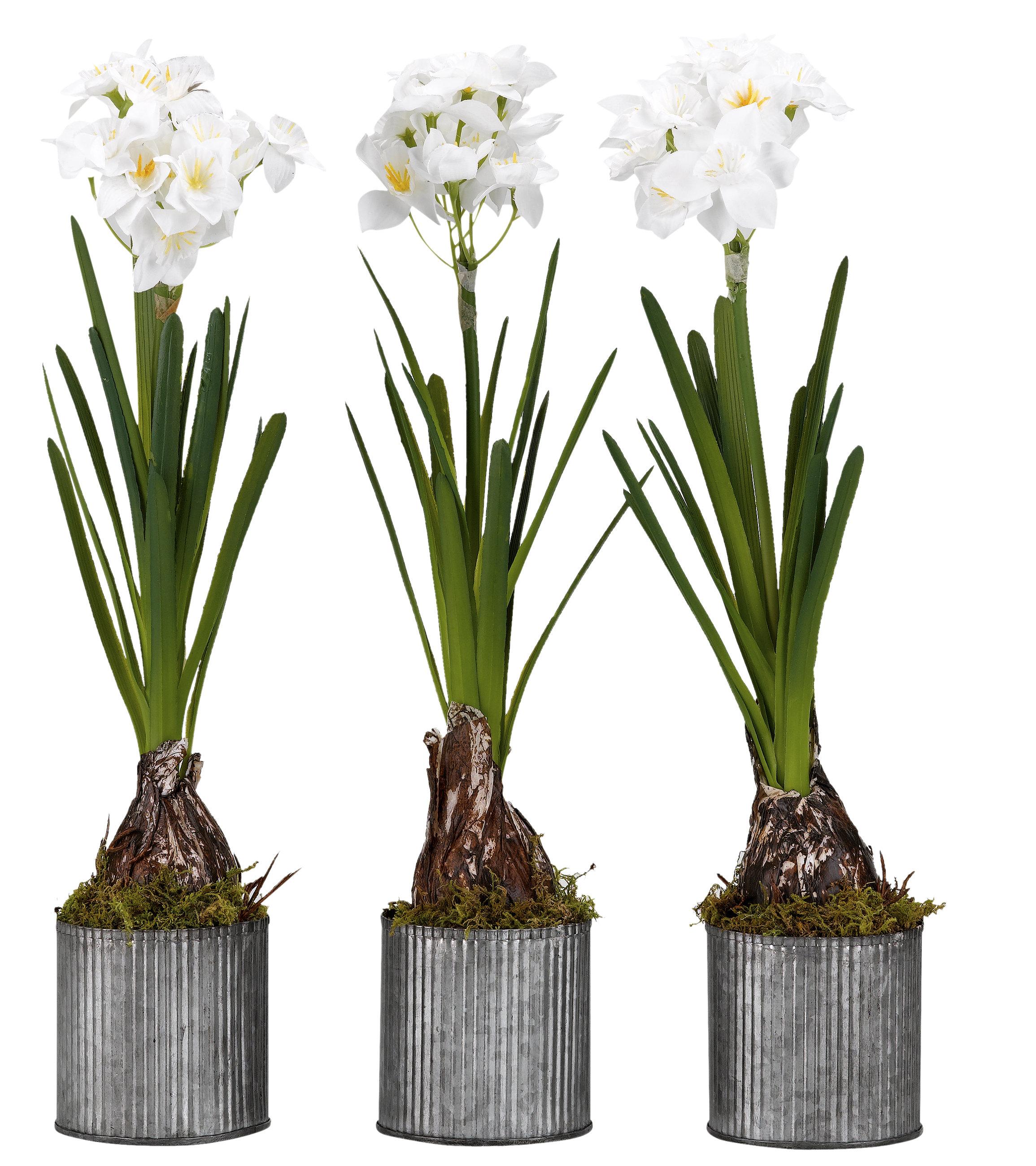 Gracie Oaks Paperwhite Bulbs Floor Flowering Plant In Tin Planter Set Wayfair