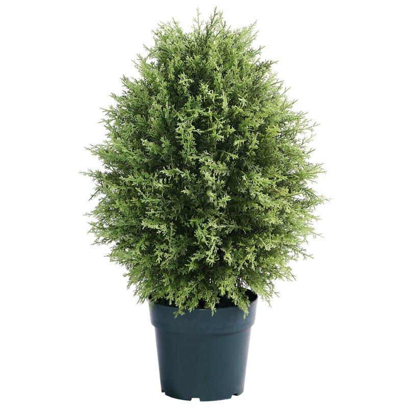 Cypress Floor Boxwood Topiary in Planter