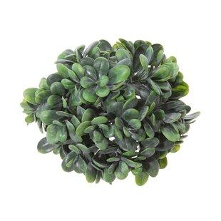 Grassula Hemisphere Plant Image