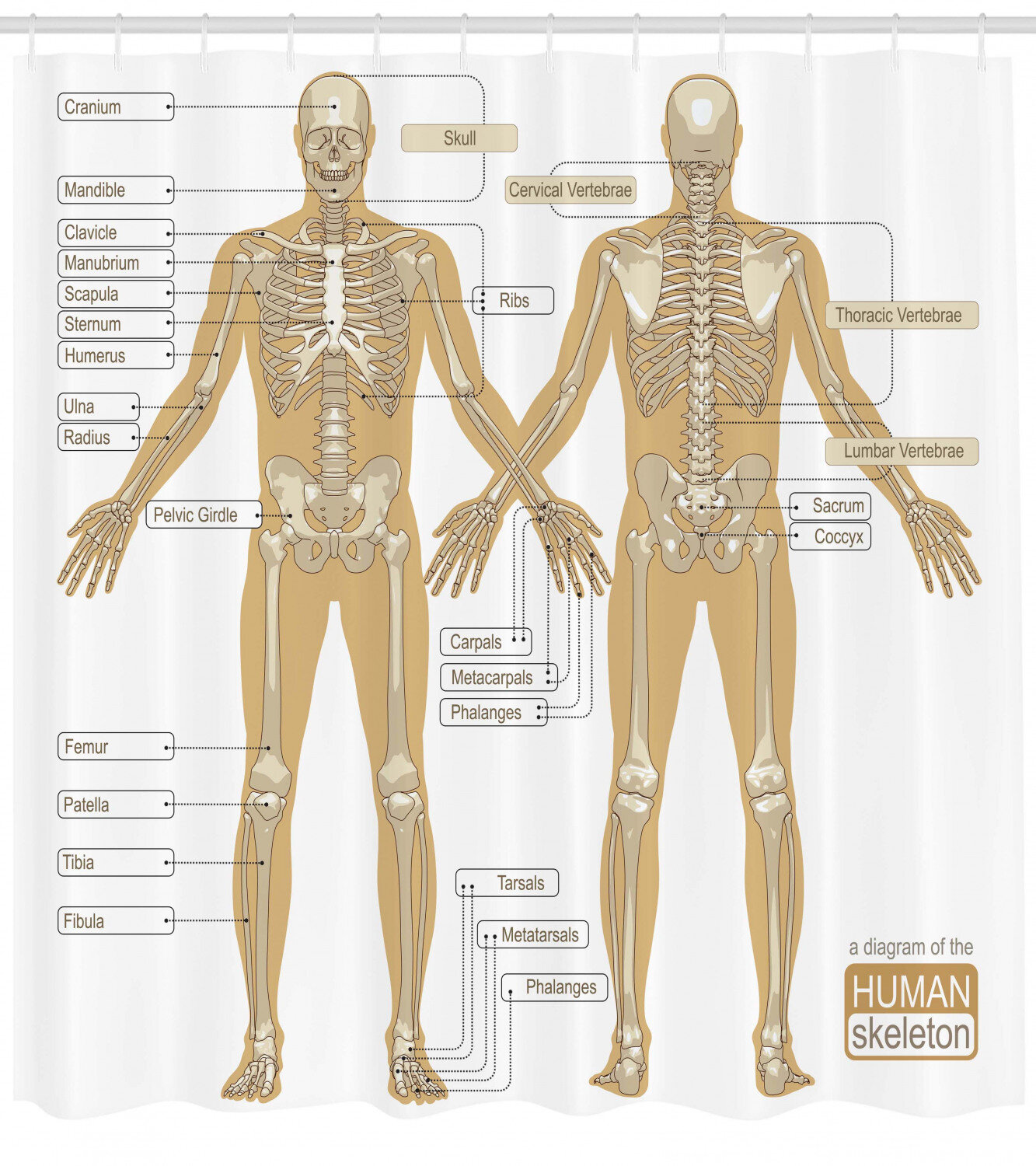 Ambesonne Human Anatomy Diagram of Human Skeleton System With Titled Main  Parts of Body Joints Picture Single Shower Curtain | WayfairWayfair