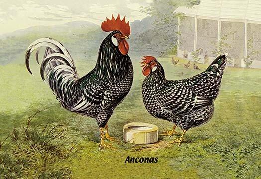 Buyenlarge Anconas Chickens Painting Print Wayfair