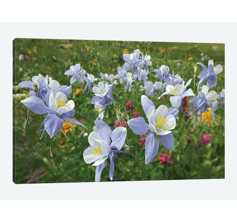East Urban Home Colorado Columbine Flowers American Basin