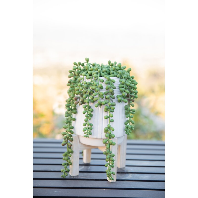 Donkey Tail String Of Pearls Succulent Plant In Pot Reviews