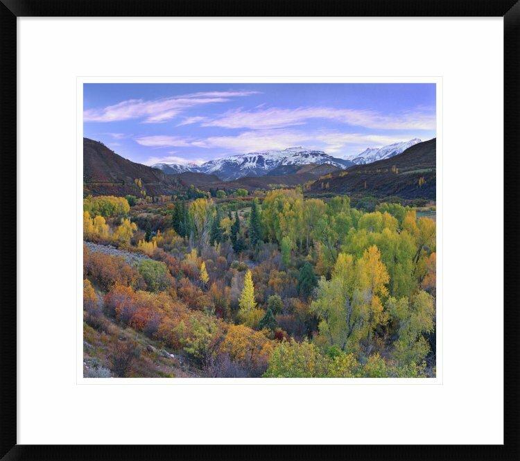 Global Gallery Quaking Aspen Forest In Autumn Snowmass Mountain Near Quaking Aspen Colorado By Tim Fitzharris Framed Photographic Print Wayfair