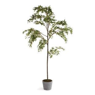 7' Maple Tree in Pot