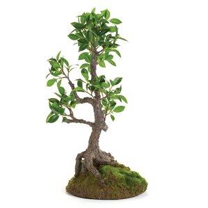 ficus bonsai tree in dropin