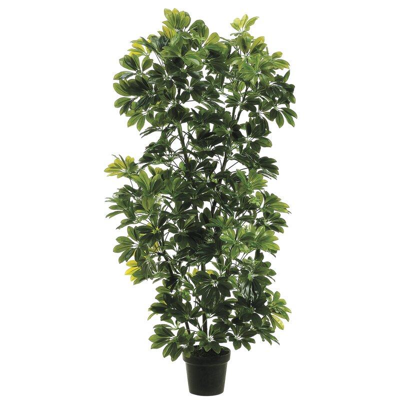 August Grove Eva Schefflera Plant In Pot Wayfair