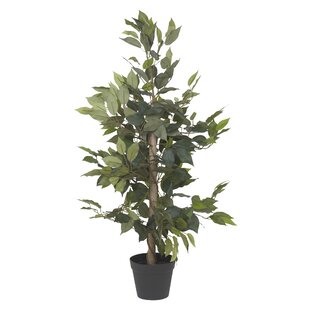 Fiscus Tree In Pot (Set Of 2) Image