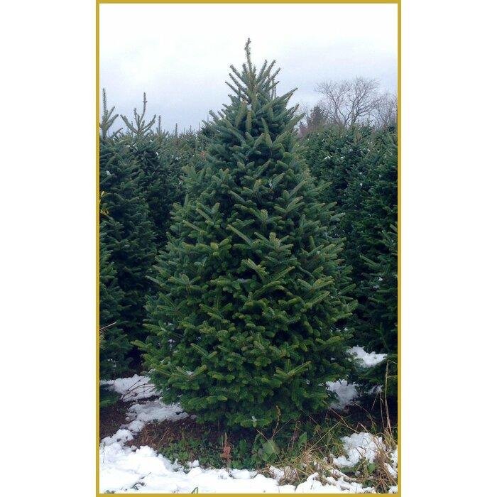 Fraser Fir Christmas Trees.Pre Order Fresh Fraser Fir Christmas Tree
