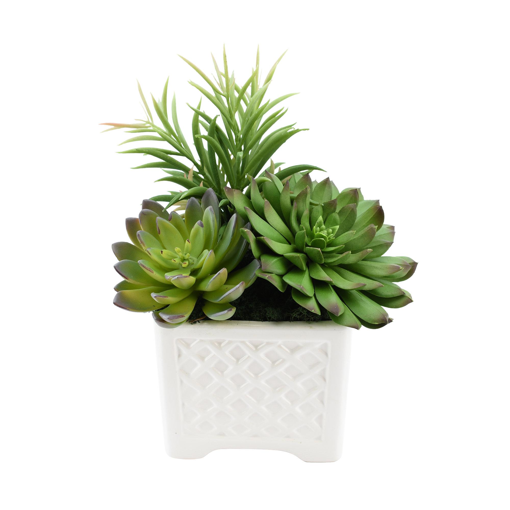 Ophelia Co Mixed Echeveria Desktop Succulent Plant In Pot Wayfair