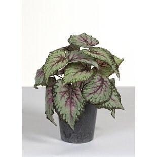 Begonia Plant In Pot By The Seasonal Aisle