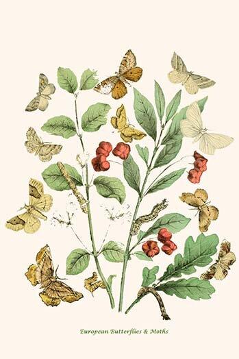 Buyenlarge European Butterflies And Moths By W F Kirby Unframed Graphic Art Print Wayfair
