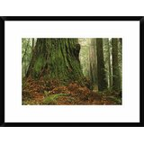 Pacific Rhododendrons in redwood forest interior Del Norte Coast Redwood National Park California Poster Print by Tim Fitzharris 22 x 28