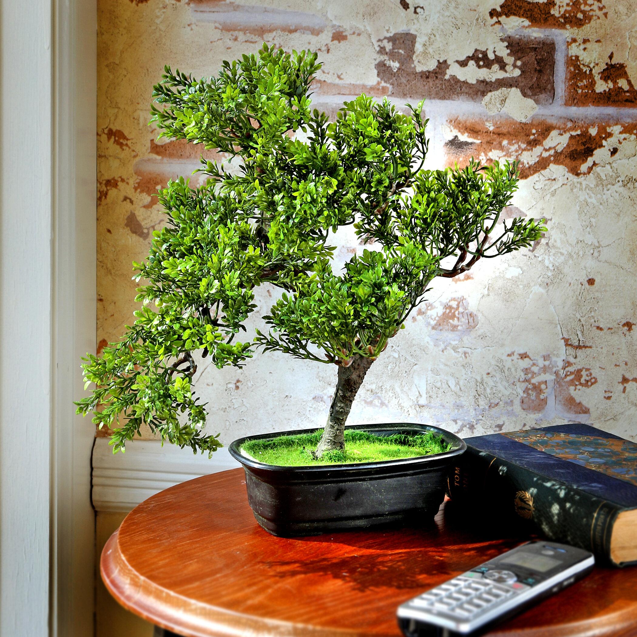 Bloomsbury Market Baby Boxwood Bonsai Tree In Planter Reviews Wayfair