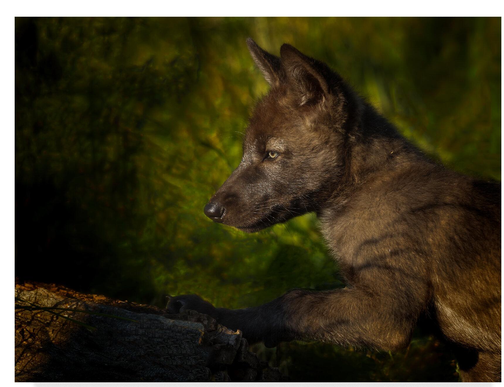trademark art black wolf pup photographic print on wrapped canvas wayfair black wolf pup photographic print on wrapped canvas