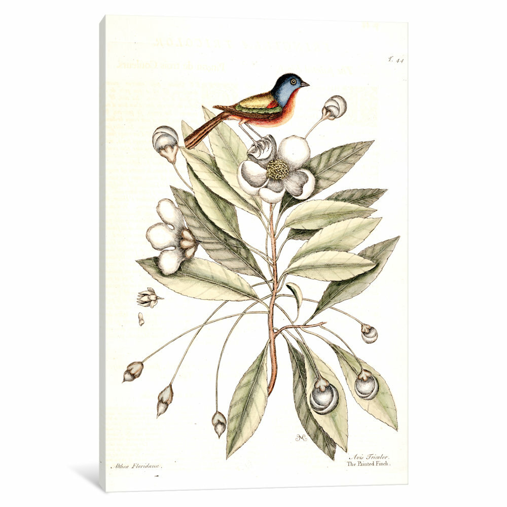 East Urban Home Catesby S Natural History Series Painted Finch Loblolly Bay Painting Print On Canvas Wayfair