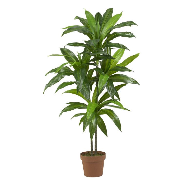 "42"" Dracaena Plant in Planter"