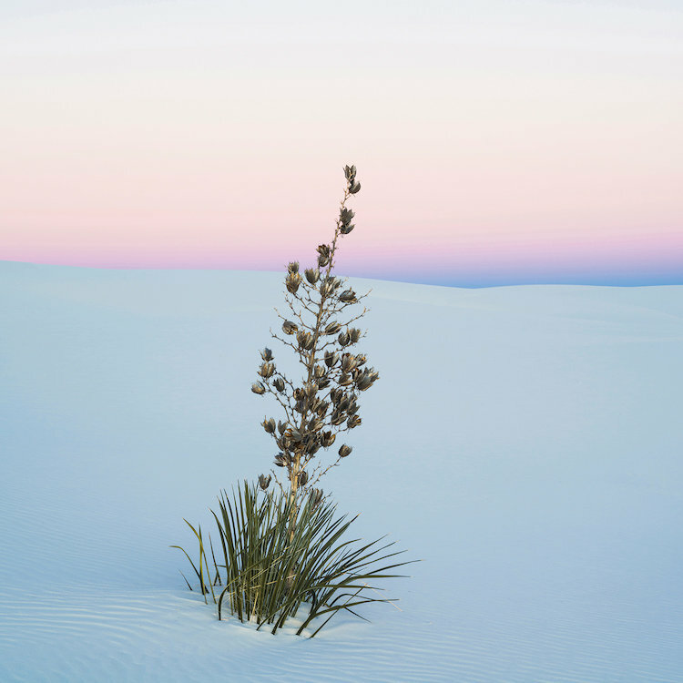 East Urban Home Soaptree Yucca Ii Sands National Monument New Mexico Usa Photographic Print On Wrapped Canvas Wayfair