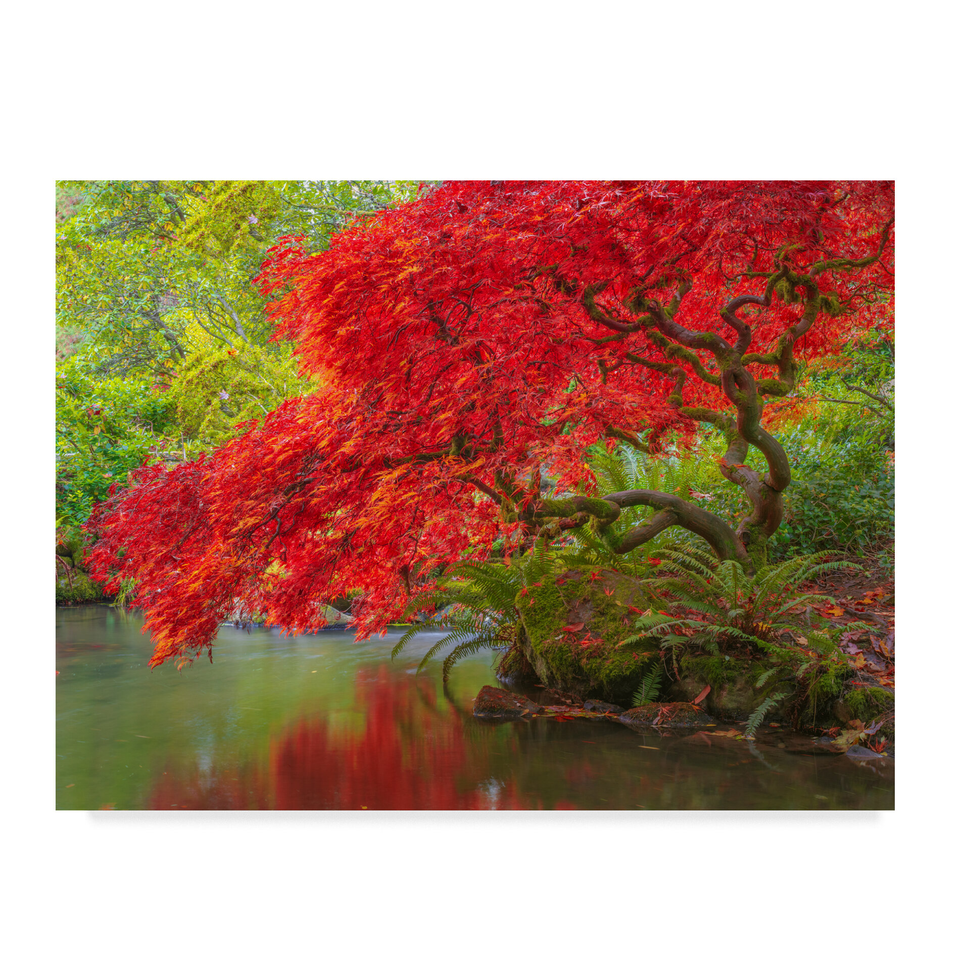 Trademark Art Japanese Maple Over Water Photographic Print On