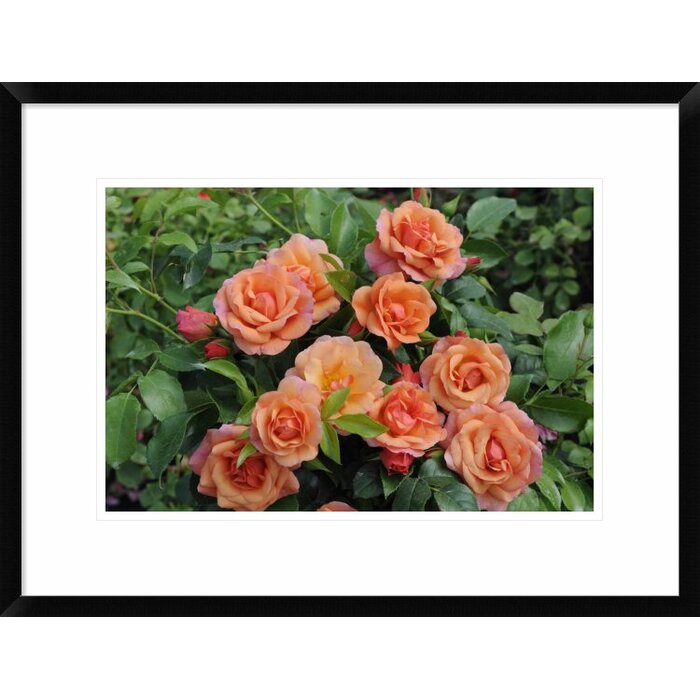 Global Gallery Rose Aprikola Variety Flowers by Visions Pictures ...