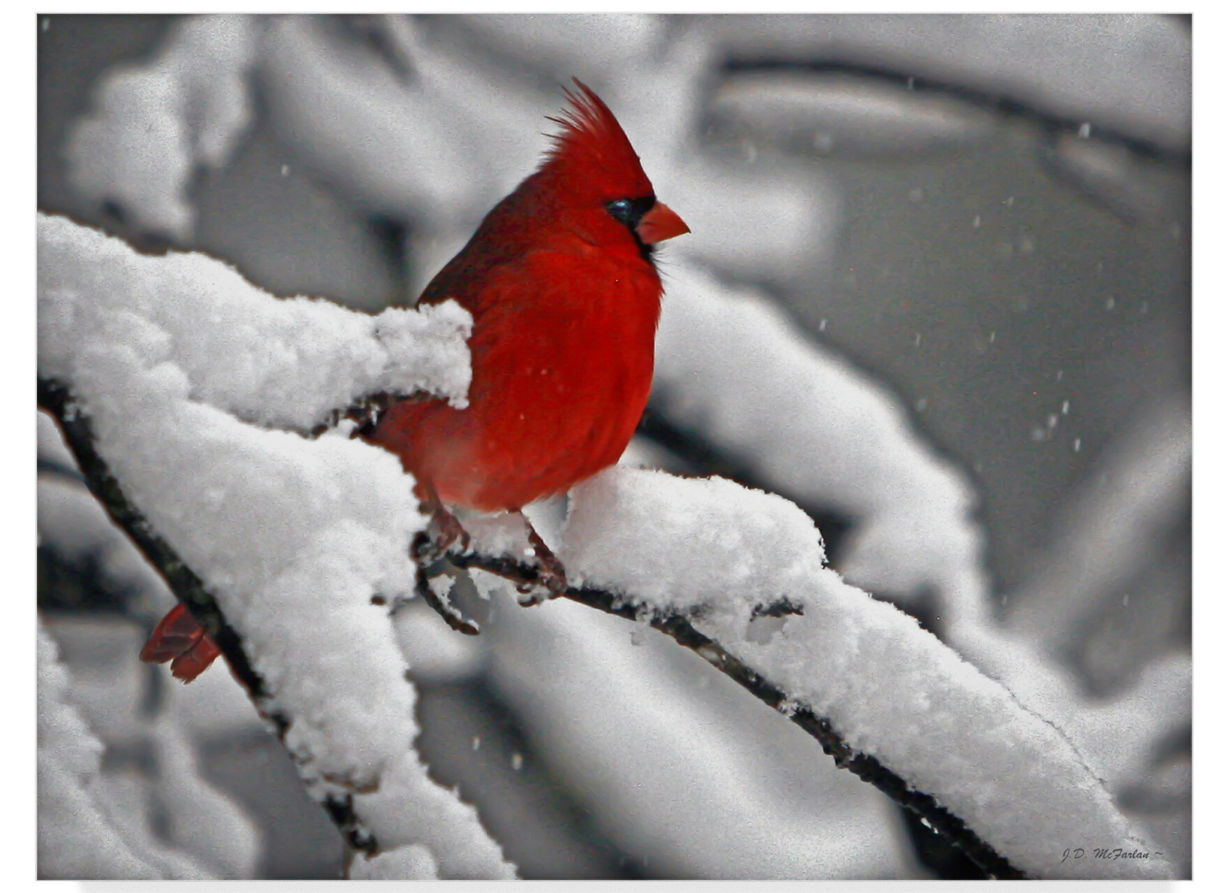 Trademark Art Cardinal In Snow Photographic Print On Wrapped Canvas Reviews Wayfair