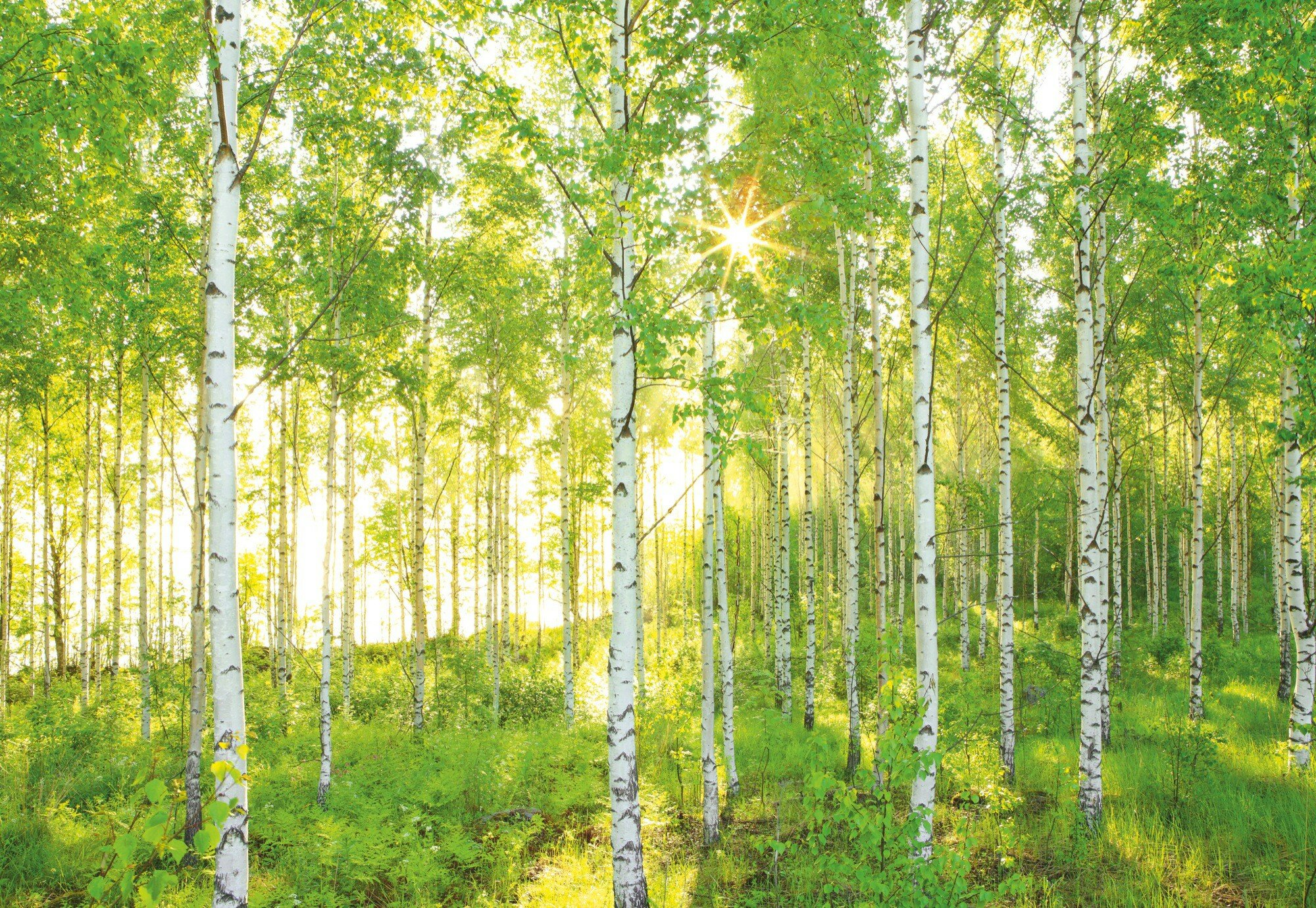 Komar National Geographic Sunday Spring Birch Tree Forest 4m x 248cm ...