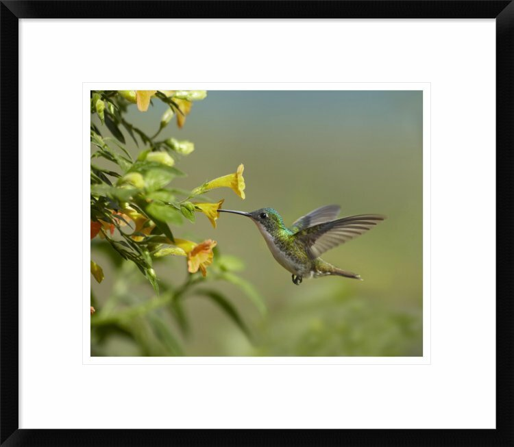 Global Gallery Andean Emerald Hummingbird Feeling On Flower Ecuador By Tim Fitzharris Framed Photographic Print Wayfair
