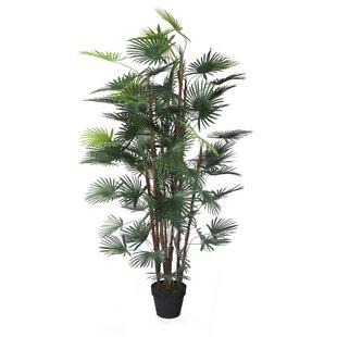 Floor Finger Palm Tree In Pot Image