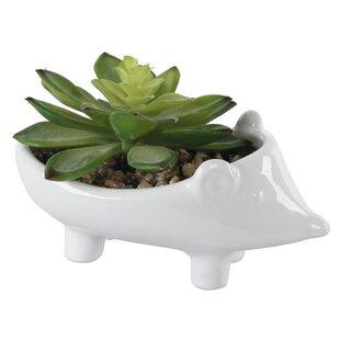 2 Piece Hedgehog Succulent Plant in Pot