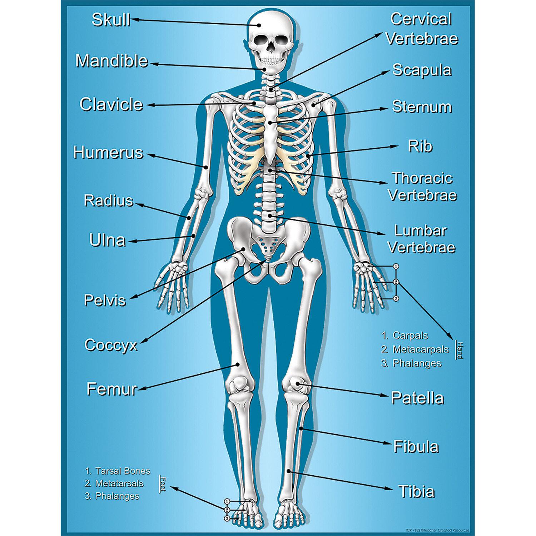 Teacher Created Resources Skeleton Chart Wayfair