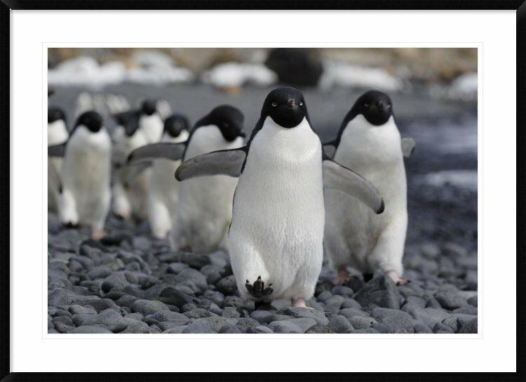 Global Gallery Adelie Penguin Group Marching To Colony Antarctic Peninsula Antarctica By Hiroya Minakuchi Framed Photographic Print Wayfair