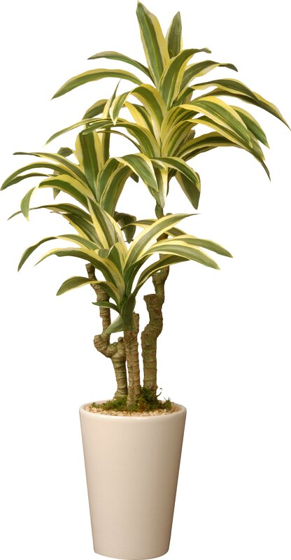 mistana dracaena palm plant in pot reviews wayfair. Black Bedroom Furniture Sets. Home Design Ideas