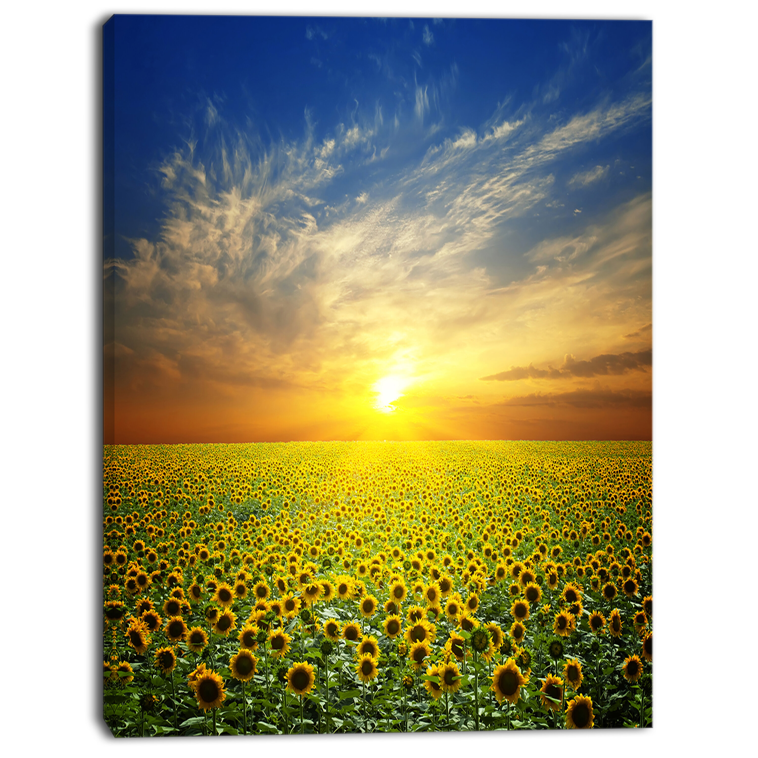Charlton Home Beauty Sunset Over Sunflowers Field Wrapped Canvas Photograph Print Wayfair