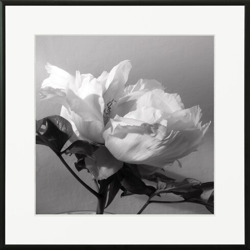 'Tree Peony 4' by Laurence David Framed Photographic Print