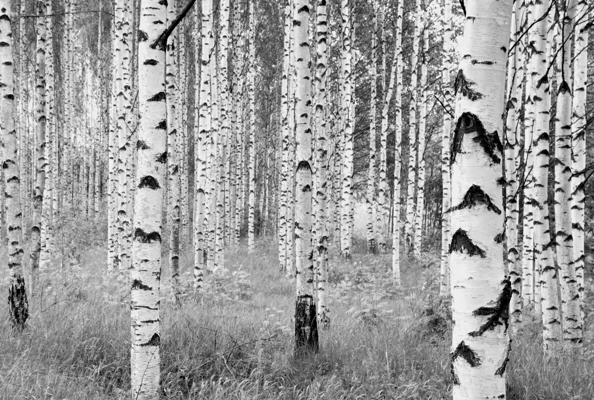 Komar Birch Forest 145u0027 X 98