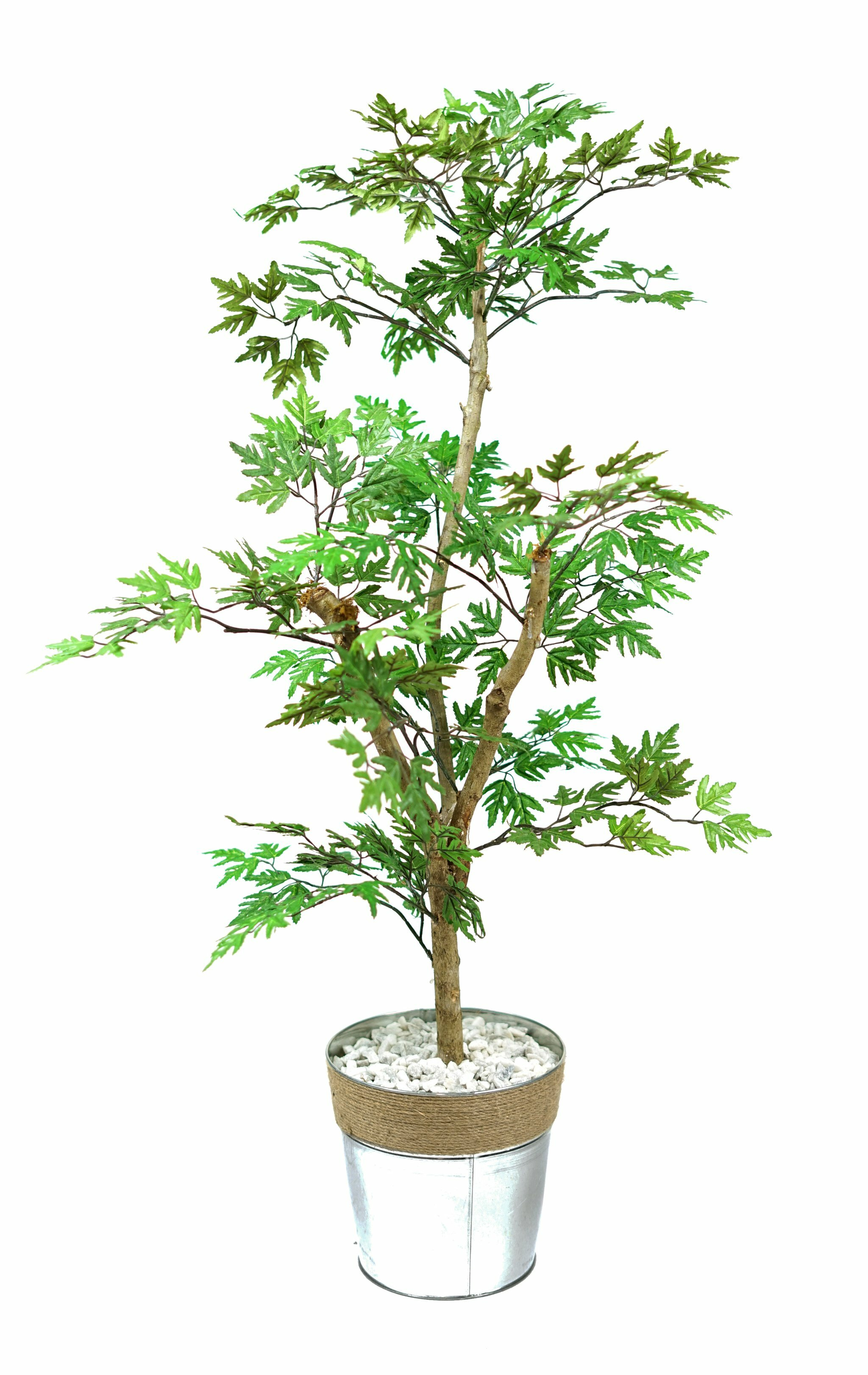 Breakwater Bay Mini Ming Aralia Floor Foliage Tree In Pot Wayfair