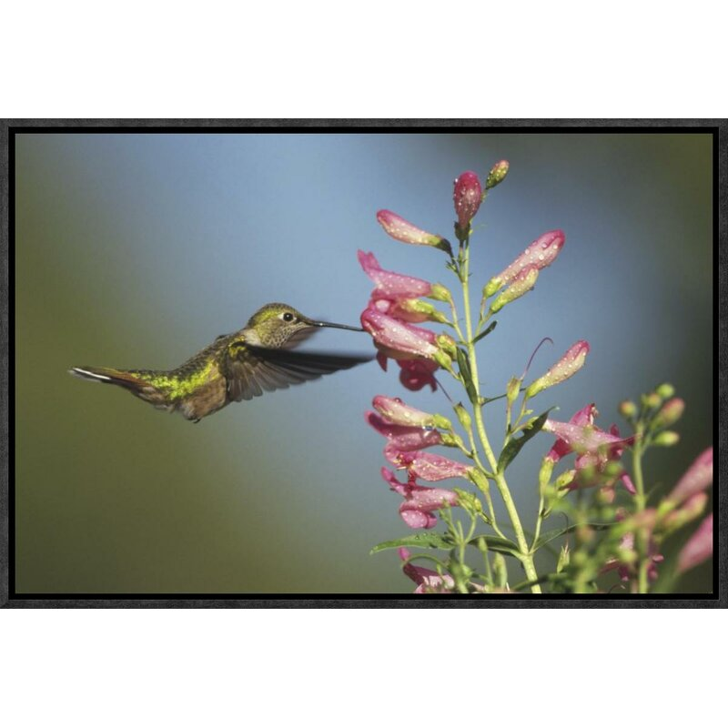 Global Gallery Broad Tailed Hummingbird Juvenile Feeding On Flowers New Mexico By Tim Fitzharris Framed Photographic Print On Canvas Wayfair