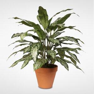 Tall Floor Queen Plant In Pot