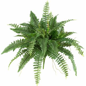 boston fern plant set of 2