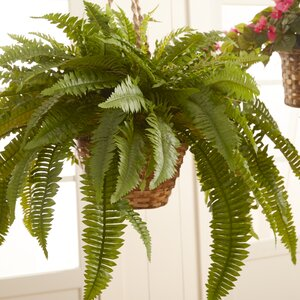 Double Giant Boston Fern Foliage in Basket