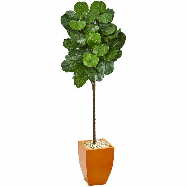 6 Ft Fig Tree